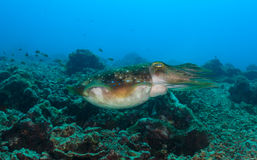 Cuttlefish on a reef Stock Photo