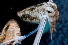 A cuttlefish on sale Stock Photos