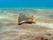 Cuttlefish on the sand Stock Image