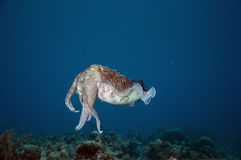 Cuttlefish. Scientists believe the cuttlefish one of the most intelligent marine animals. The ratio of the weight of her brain to body weight, of course, did not Royalty Free Stock Image