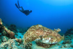 Cuttlefish and Scuba Diver. Scuba diving with Large Pharoah Cuttlefish on reef Royalty Free Stock Photography