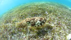 Cuttlefish and Seagrass in Wakatobi, Indonesia. A Broadclub cuttlefish hovers above seagrass in Wakatobi, Indonesia. This remote, tropical region is known for stock footage