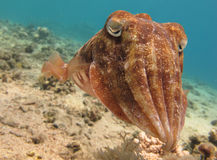 Cuttlefish (Sepia) in clear blue water. Portrait of a Cuttlefish (Sepia) swimming close to a sandy bottom in clear blue water Stock Photos