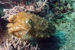 Cuttlefish, Sepia latimanus. Cuttlefish are marine animals of the order Sepiida. They belong to the class Cephalopoda Stock Photos