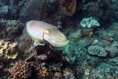 Cuttlefish, Sepia latimanus. Cuttlefish are marine animals of the order Sepiida. They belong to the class Cephalopoda Royalty Free Stock Photos