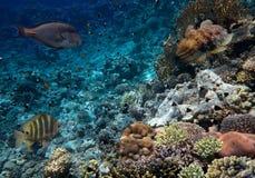 Cuttlefish, Sepia latimanus. Red Sea Royalty Free Stock Photos