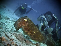 Cuttlefish Sighting. Scuba divers enjoying the sighting of a huge cuttlefish Stock Image