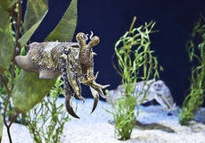 Cuttlefish or squid. Cuttlefish are marine animals of the order Sepiida Stock Image