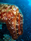 Cuttlefish staring at camera. Brown and white spotted cuttlefish at close range, staring into the camera; Great Barrier Reef, Australia royalty free stock photography