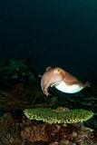 Cuttlefish on the table coral... Stock Photo