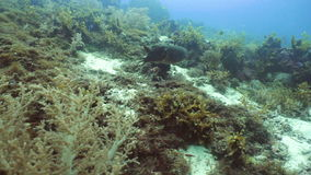 Cuttlefish under water. Cuttlefish under water in the ocean on a coral reef. Cuttlefish Sepia officinalis Diving and snorkeling in the tropical sea. Travel stock video