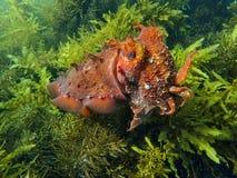 Cuttlefish w górę zakończenie terakoty na zieleni Fotografia Royalty Free