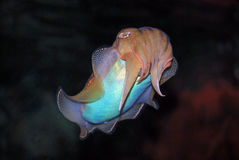 Cuttlefish Royalty Free Stock Photography