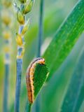 Cutworm Royalty Free Stock Photo