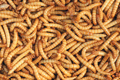 Cutworm Stock Photography