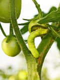 Cutworm eats green tomato Stock Image