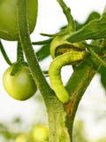 Cutworm mangia il pomodoro verde Immagine Stock