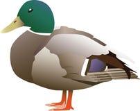 Cuty duck Stock Photos