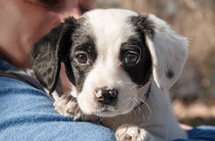 The cuty puppy outdoors. The cuty black and white puppy in hand royalty free stock photography