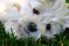 Cuty Welpe Lizenzfreies Stockbild
