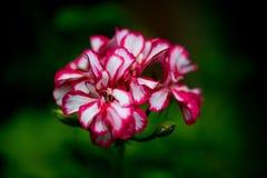 Cuvette de fleur d'oléandre photo stock