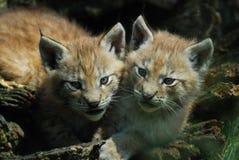 Cuvettes de Lynx Photo libre de droits