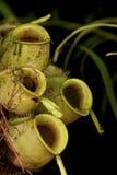 Cuvettes de singe de logement d'étage - espèces de Nepenthes. Image libre de droits