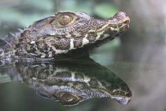 cuvier caiman karzeł s zdjęcie stock