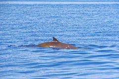 Cuvier's beaked whale. (Ziphius cavirostris), in the Gulf of Genoa, Ligurian Sea Royalty Free Stock Photo
