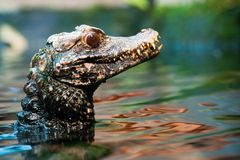 Cuvier's dwarf caiman Stock Image