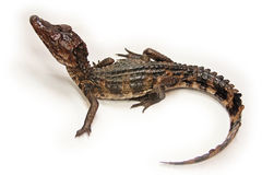 Cuviers Dwarf Caiman baby. The Cuviers dwarf caiman or Musky caiman, Paleosuchus palpebrosus, is a relatively small crocodilian reptile from northern and central royalty free stock images