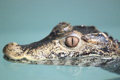 Cuvier's dwarf caiman Stock Photo