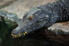 Cuvier`s dwarf caiman Paleosuchus palpebrosus Royalty Free Stock Photos