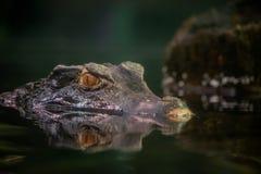 Cuvier`s dwarf caiman stock photo