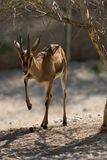 Cuvier's Gazelle Royalty Free Stock Photos