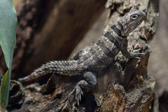 Cuvier-` s Madagaskar schnelles Oplurus cuvieri lizenzfreie stockbilder