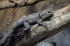 Cuvier-` s Madagaskar schnelles Oplurus cuvieri lizenzfreie stockfotografie