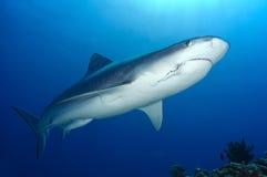 Cuvieri ТИГРА SHARK/galeocerdo Стоковое Изображение