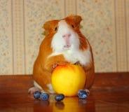 Cuy mieszanki królika doświadczalnego zwierzę domowe z owoc Obrazy Stock