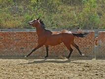 cwału koń Zdjęcia Stock