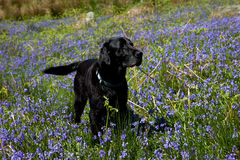 Cwm Pennant dog Royalty Free Stock Images