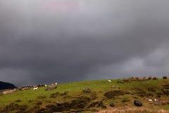 Cwm Pennant sheep Stock Photo