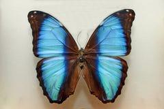 Cyaan vlinder royalty-vrije stock afbeeldingen