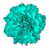 Cyan цветок гвоздики изолированный на белой предпосылке Конец-вверх элемент конструкции рождества колокола Стоковые Фото