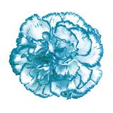 Cyan biały goździka kwiat odizolowywający na białym tle Zakończenie bell świątecznej element projektu Obraz Stock