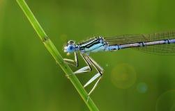 Cyan-blaue Libelle Stockfotos