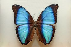 Free Cyan Butterfly Royalty Free Stock Images - 955729