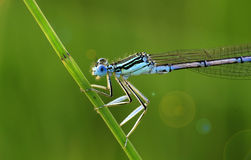 Cyan Dragonfly. Green background. From nature Stock Photos