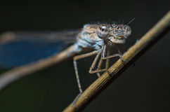 Cyan dragonfly portrait Stock Photography