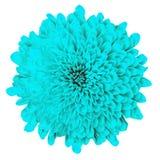 Cyan krysantemum för blomma som isoleras på vit bakgrund knoppcloseblomma upp element för klockajuldesign royaltyfri bild